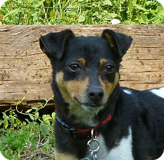 Rat Terrier Dog for adoption in Victor, Montana - Gaylord D Buster Adopted