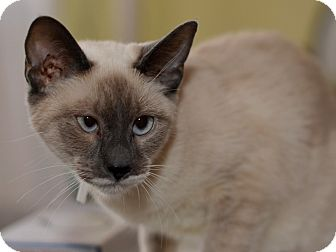 Siamese Kitten for adoption in Brooklyn, New York - Sisi