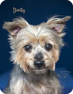 Yorkie, Yorkshire Terrier Mix Dog for adoption in Rancho Mirage, California - Dorethy