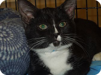Domestic Shorthair Kitten for adoption in Medina, Ohio - Octavious
