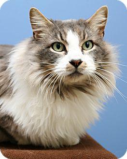 Domestic Longhair Cat for adoption in Bellingham, Washington - Brando