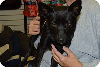 Schipperke/Cattle Dog Mix Dog for adoption in Cave Creek, Arizona - Hoppy
