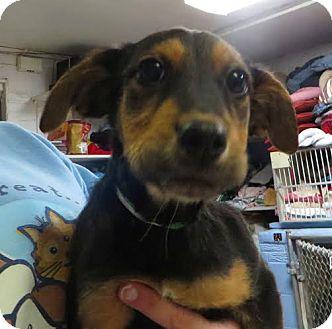Labrador Retriever/German Shepherd Dog Mix Puppy for adoption in Middletown, New York - Miami