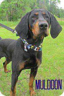 Black and Tan Coonhound Dog for adoption in Menomonie, Wisconsin - Muldoon