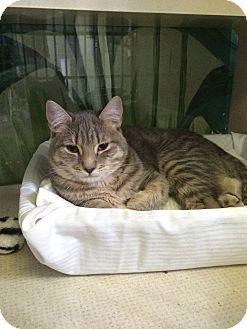 Domestic Shorthair Cat for adoption in New York, New York - Nickolson