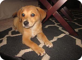 Labrador Retriever Mix Puppy for adoption in Hainesville, Illinois - Hazel