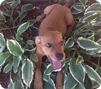 Labrador Retriever Mix Puppy for adoption in North Brunswick, New Jersey - Missy