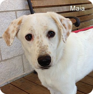 Labrador Retriever Mix Puppy for adoption in Slidell, Louisiana - Maia
