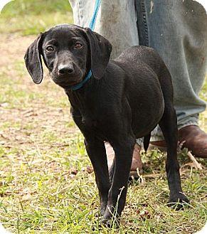 Weimaraner/Labrador Retriever Mix Puppy for adoption in Windham, New Hampshire - Coraline (CD)