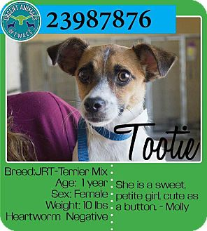 Jack Russell Terrier Mix Dog for adoption in Saddle Brook, New Jersey - Tootie