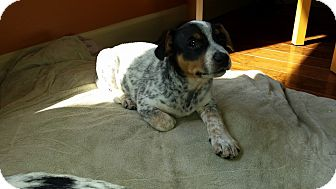Beagle Mix Puppy for adoption in Manahawkin, New Jersey - Mickey