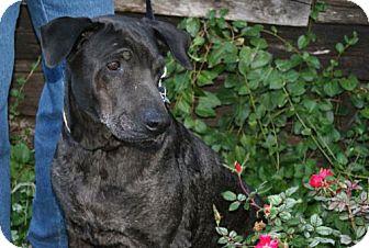 Labrador Retriever Dog for adoption in Parkville, Missouri - Derby