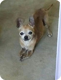 Chihuahua Mix Dog for adoption in Oviedo, Florida - Chester