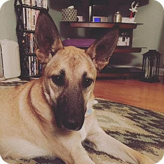 Belgian Malinois Mix Dog for adoption in Grand Rapids, Michigan - Lollie