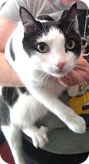 Domestic Shorthair Cat for adoption in Nashville, Tennessee - Spotty