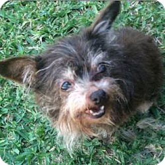 Yorkie, Yorkshire Terrier/Chihuahua Mix Dog for adoption in Lancaster, Texas - Opal