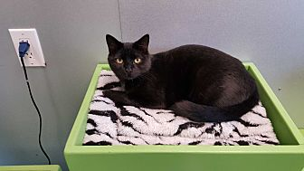 Domestic Shorthair Cat for adoption in Barnwell, South Carolina - Barney