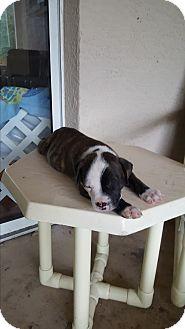 Boxer/Labrador Retriever Mix Puppy for adoption in New Port Richey, Florida - Shadow