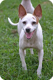 Chihuahua/Feist Mix Dog for adoption in Southington, Connecticut - Myra