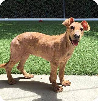 Golden Retriever/German Shepherd Dog Mix Dog for adoption in Lumberton, North Carolina - Squirrel