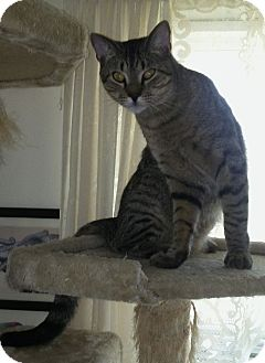 Domestic Shorthair Cat for adoption in Myrtle Beach, South Carolina - Leo