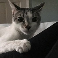 Domestic Shorthair Cat for adoption in Los Angeles, California - Mommie