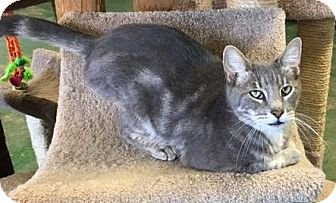 Domestic Shorthair Cat for adoption in Gonzales, Texas - Gabriel