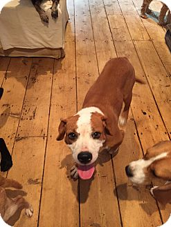 Boxer/Beagle Mix Dog for adoption in Sagaponack, New York - Bonnie