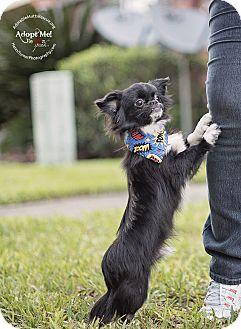 Pekingese/Chihuahua Mix Dog for adoption in Seattle, Washington - CALEB - SIMPLY ADORABLE