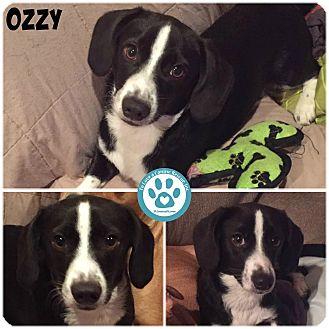 Beagle Mix Dog for adoption in Kimberton, Pennsylvania - Ozzy