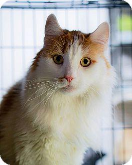 Domestic Shorthair Cat for adoption in Brooklyn, New York - Puttie