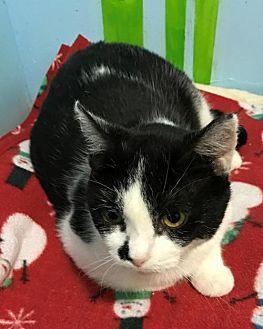 Domestic Shorthair Cat for adoption in Columbus, Ohio - Alice