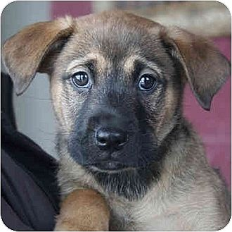 Shepherd (Unknown Type) Mix Puppy for adoption in Huntley, Illinois - Abby