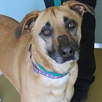 German Shepherd Dog/Labrador Retriever Mix Dog for adoption in Manchester, Connecticut - Hera