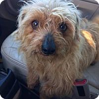 Adopt A Pet :: Bear 1 pending adoption - East Hartford, CT