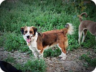 Australian Shepherd/Corgi Mix Dog for adoption in San Antonio, Texas - Brodie