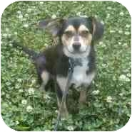 Beagle/Chihuahua Mix Puppy for adoption in Waldorf, Maryland - Bandit Clarke