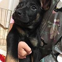 Adopt A Pet :: Clark Kent - Savannah, GA
