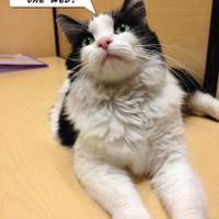Adopt A Pet :: Siri - Chandler, AZ