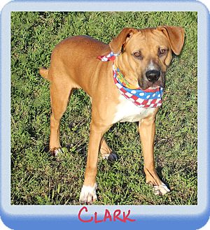 Boxer/Labrador Retriever Mix Dog for adoption in Hillsboro, Texas - Clark