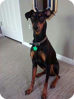 German Pinscher Dog for adoption in Palm Bay, Florida - Pinch