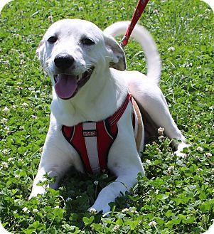 Pointer Mix Puppy for adoption in Waldorf, Maryland - Zuri