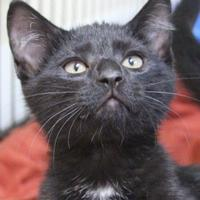 Domestic Shorthair/Domestic Shorthair Mix Cat for adoption in Dodgeville, Wisconsin - Alex