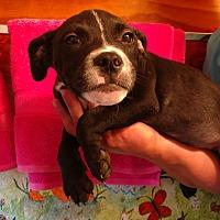 Adopt A Pet :: Midnight - st. pete., FL