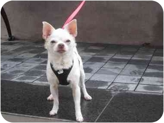 Chihuahua Dog for adoption in Long Beach, New York - Winnie hte Pooh