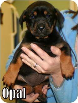 American Bulldog Mix Puppy for adoption in Georgetown, South Carolina - Opal