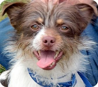 Brussels Griffon/Terrier (Unknown Type, Small) Mix Dog for adoption in Los Angeles, California - Robbie *VIDEO*