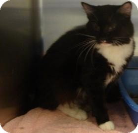 Domestic Longhair Cat for adoption in Gainesville, Florida - Kit