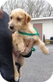 Terrier (Unknown Type, Small)/Chihuahua Mix Dog for adoption in Hagerstown, Maryland - Tramp