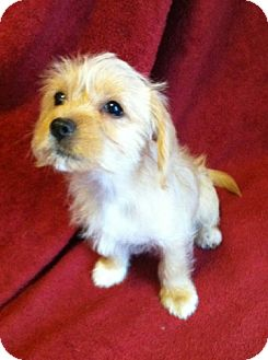 Terrier (Unknown Type, Small)/Cavalier King Charles Spaniel Mix Puppy for adoption in Sedona, Arizona - Anders